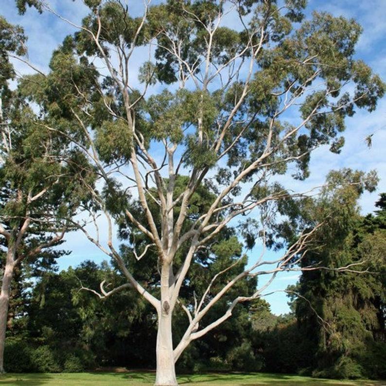 Eucaluptus Tree